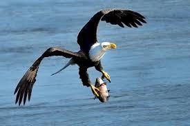 Maryland birds images Bald eagles in maryland wypr jpg