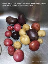 growing potatoes in north texas denton county master gardener
