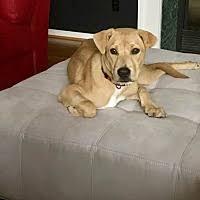 belgian malinois rescue va chesterfield va pet adoption k9 rescue of va has dogs puppies