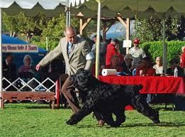 belgian shepherd vs rottweiler conformation dog shows american kennel club