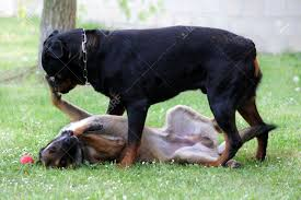 belgian sheepdog vs belgian shepherd picture of a purebred belgian sheepdog malinois and rottweiler