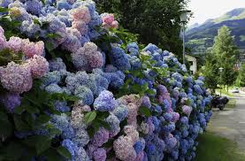 wallpaper hydrangea flower shrub wall green hd picture image