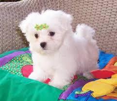 affenpinscher for sale canada affenpinscher puppies for sale seebyseeing