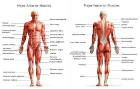 Picture Of Abdomen Anatomy Chart Of Major Muscles On The Front Of The Body With Labels
