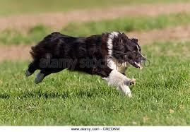 australian shepherd black australian shepherd black bi stock photos u0026 australian shepherd