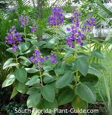 All Year Flowering Shrubs - 277 best zone 10 plants images on pinterest florida gardening