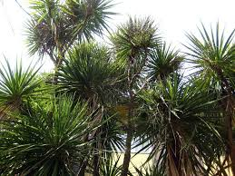 cabbage tree palms information on growing a cabbage palm tree