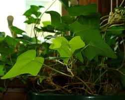 Plants That Dont Need Sunlight by Ivy Plant Care Tips For Growing Ivy Indoors