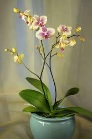 Houseplants That Don T Need Sunlight 9 Flowering Houseplants