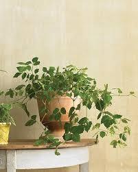 best 25 ivy houseplant ideas on pinterest topiaries topiary