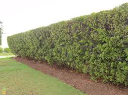 wax myrtle trees wax myrtles for sale the planting tree