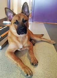 adopt a belgian sheepdog prince the shepherd mix mixed breeds pinterest dog dog