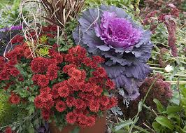 plant for autumn with russet colored mums and ornamental purple