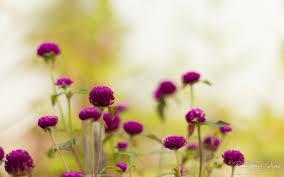 purple garden flowers wallpapers hd wallpapers