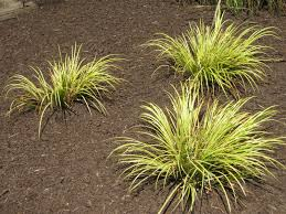 sweet flag ornamental grass these stay and come back every
