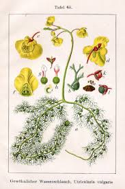bladderwort the cabinet of freshwater curiosities