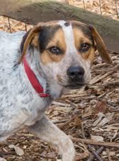 bluetick coonhound beagle view ad affen frise mix dog for adoption georgia blairsville usa