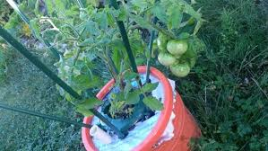 tomatoes upside down ground and self watering container