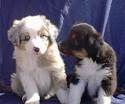 8 week australian shepherd aussie pups black tri u0026 blue merle puppy love pinterest