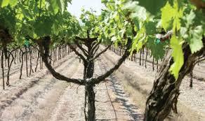 Trellis Wine Trellis Enhances Grape Quality Good Fruit Grower