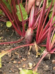 harvesting and storing vegetables diy