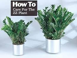 benefits of houseplants zz plant benefits common house plants zz plant health benefits