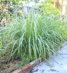 planting next to lemongrass suitable lemongrass companions in the