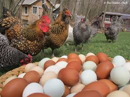 chicken breeds by egg production with chicken breeds ideal for