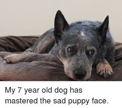 Puppy Face Meme - my 7 year old dog has mastered the sad puppy face puppy meme on me me