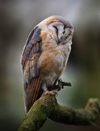 Barn Owl Sounds Napping Barn Owl Owl Barn And Bird