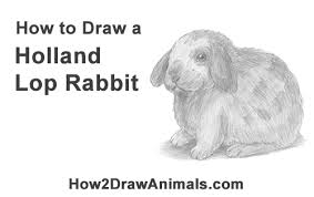 how to draw a holland lop bunny