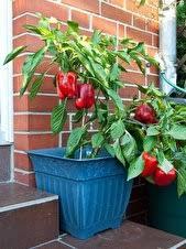 gem se pflanzen balkon gemüse und obst für den balkon berlin de
