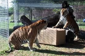 big cats like cardboard boxes too mental floss
