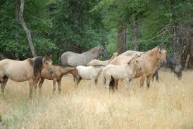 mustang ranch history l kiger ranch kigers kiger stallions at stud kigers for