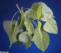 Cottonwood Tree Flowers - uf sfrc 4 h eastern cottonwood