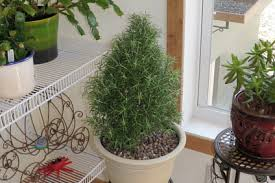 potted rosemary christmas tree potted herbs indoor herbs