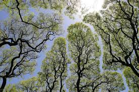 the phenomenon of u201ccrown shyness u201d where trees avoid touching