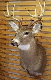deer head whitetail deer head mounts