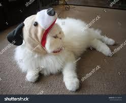 bichon frise funny funny white persian cat wear dog stock photo 323198459 shutterstock