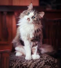 cutes aline hair best 25 long haired cats ideas on pinterest long hair kitten