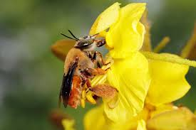 Flowers Bees Pollinate - foodie bees insects head downtown for dinner u2013 national