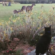 souffle lechat the australian cat living with kangaroos album on