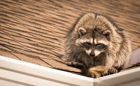 see the surefire signs raccoons have entered your attic