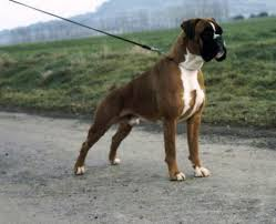 boxer dog 3 weeks pregnant european boxer how they should look animals that i love