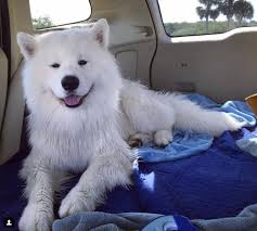 american eskimo dog short hair the top 12 fluffiest dog breeds that ever floofed barkpost