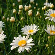 onlineplantcenter 1 gal becky shasta daisy plant l843cl the