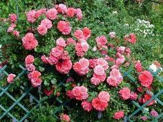 trellis roses my grandma boyajian had trellis roses all over her porch and to