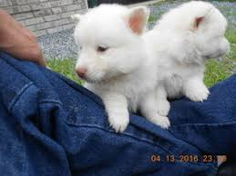 american eskimo dog puppies near me view ad american eskimo dog toy puppy for sale alabama arab usa