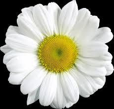 transparent daisy cliparts free download clip art free clip