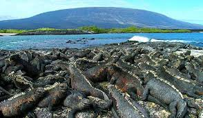 iguana island galapagos islands guided tour marine iguana colony on fernandina